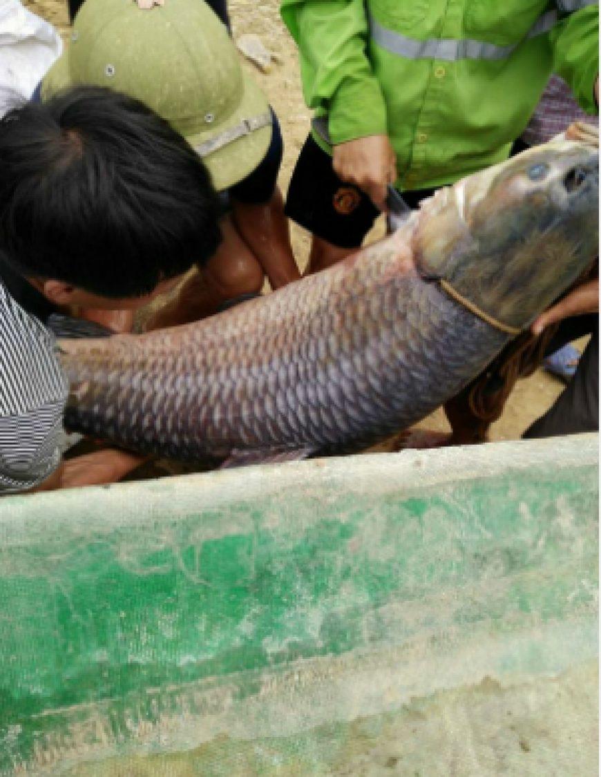 Bắt được cá trắm dài gần bằng người lớn, nặng 52 kg
