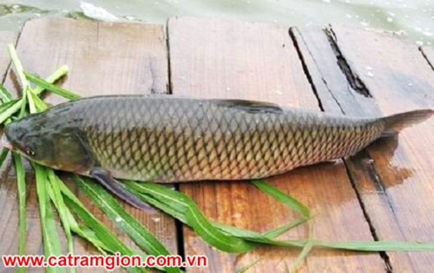 Cá trắm giòn ăn gì? Làm món gì ngon? Giá bao nhiêu 1kg