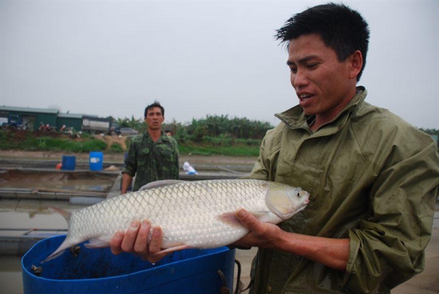 Kỹ thuật nuôi cá trắm giòn