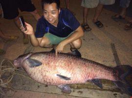 Cá trắm 61kg phát hiện ở núi Cốc
