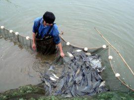 Quy trình nuôi cá trắm giòn